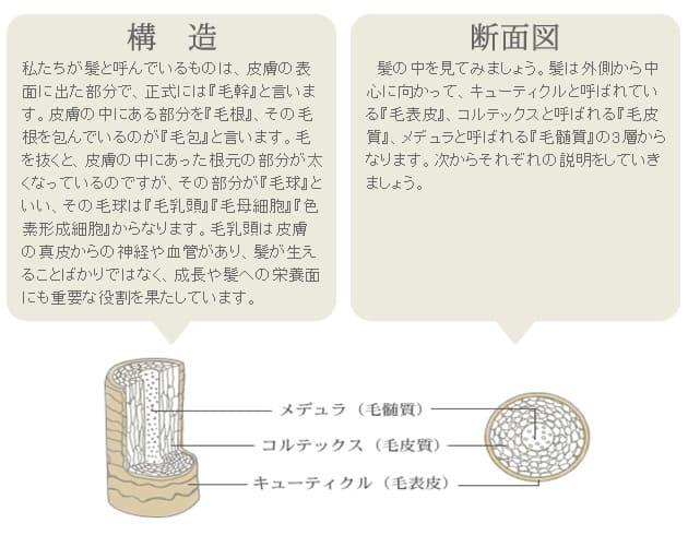 髪の構造と断面図